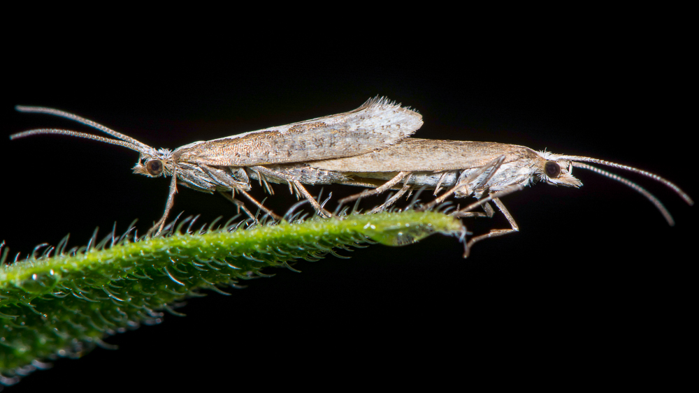 GMO moths are being released to destroy their population