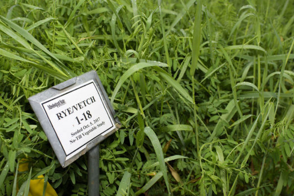A clump of green rye and vetch grasses with a label resting on a short metal pole in the foreground.