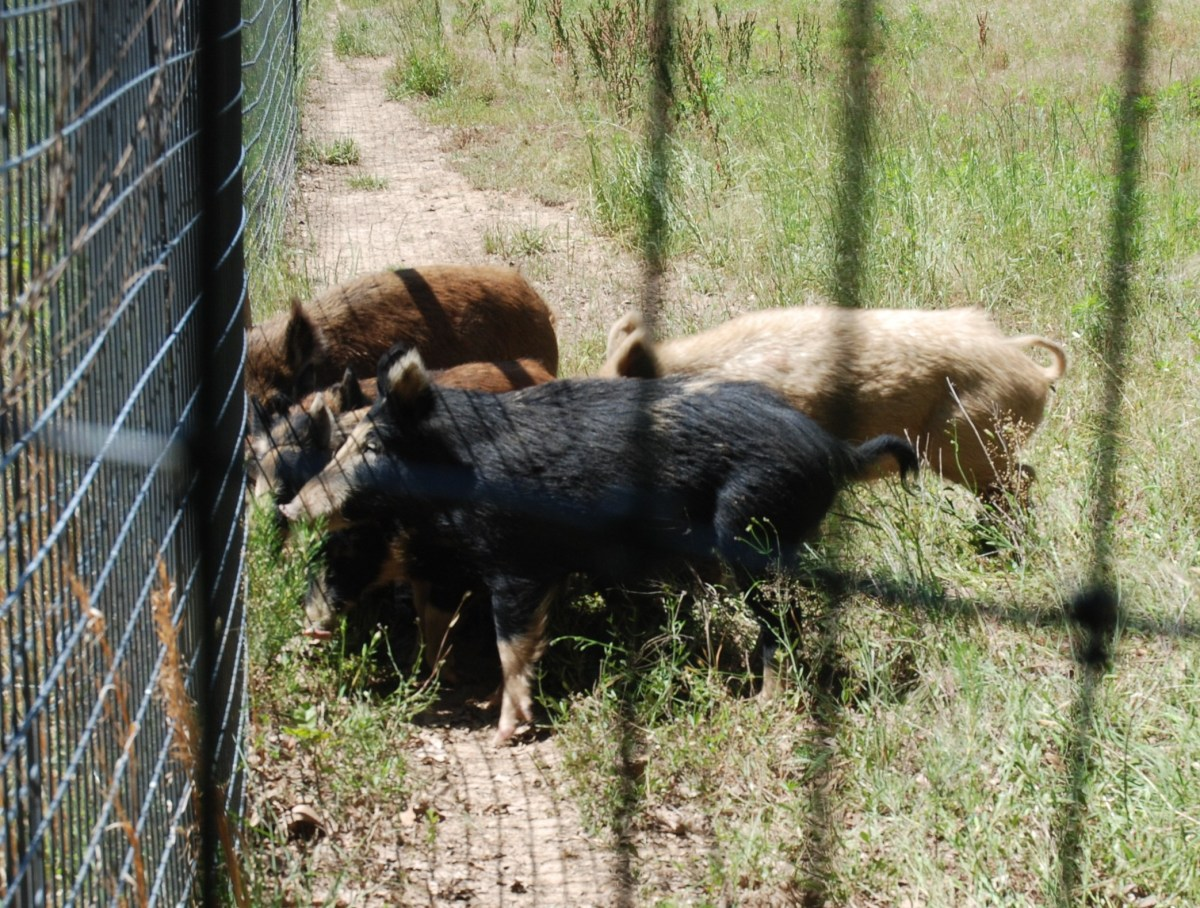 Arkansas Wild Hogs A Growing Pest But Use Legal Control Methods