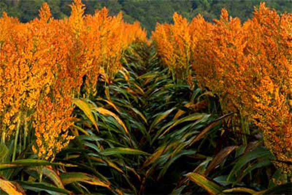 South Carolina Sorghum: Company Developing Improved Regional Varieties