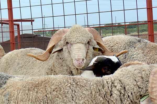 Texas Sheep and Goat Expo, San Angelo, Aug  16-17 – AgFax