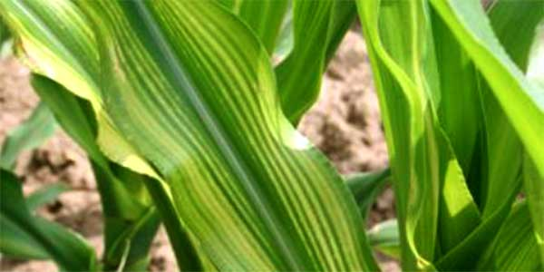 Indiana Corn: Yellow Striping May Be Linked to Sulfur