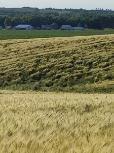Saunders-lodged-wheat-mid-June-KG[1]