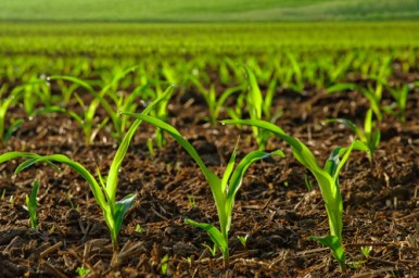corn-young-plants-shutterstock-05082014