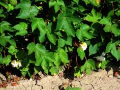 cotton-bolls-open-lower-rio-grande-texas-pest-cast-07032014-facebook-600