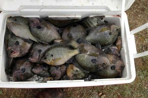 Pond owners may want to consider using fertilization programs to increase fish production. However, discontinuing the program can lead to an unhealthy fish population. (File photo by MSU Ag Communications)