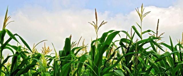 corn+resized