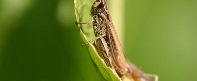 cricket protein