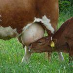 EpiBiome Raises $6m Series A for Bovine Mastitis Cure