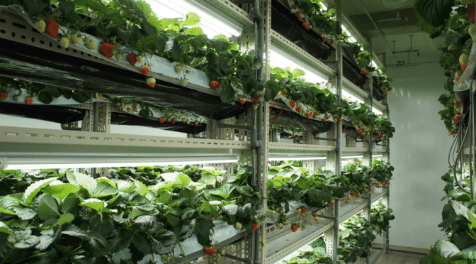 How a Japanese Vertical Farm is Growing Strawberries using LED for the First Time