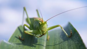 grasshopper insect protein
