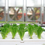 What do Indoor Farming CEOs Think of Hydroponics Organic Approval?