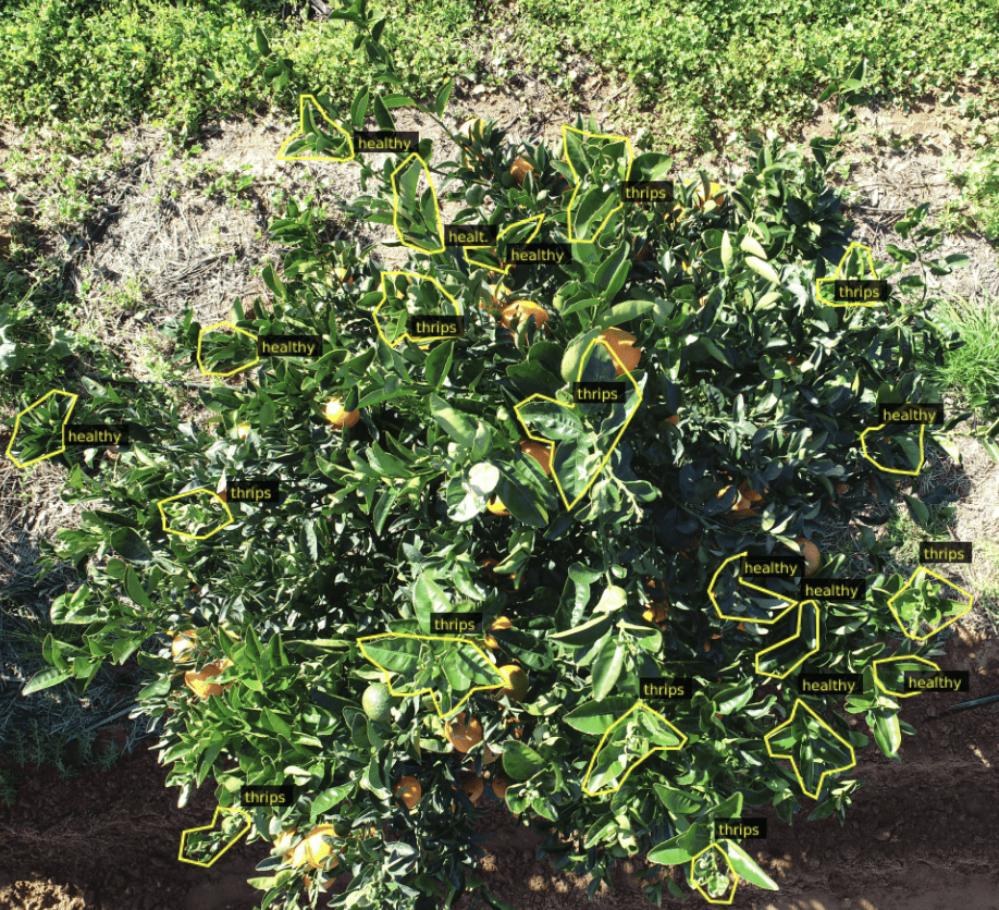 Thrips detection on citrus
