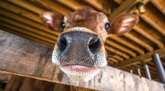 EXCLUSIVE: Cavallo Ventures Invests in SomaDetect's Livestock Tech