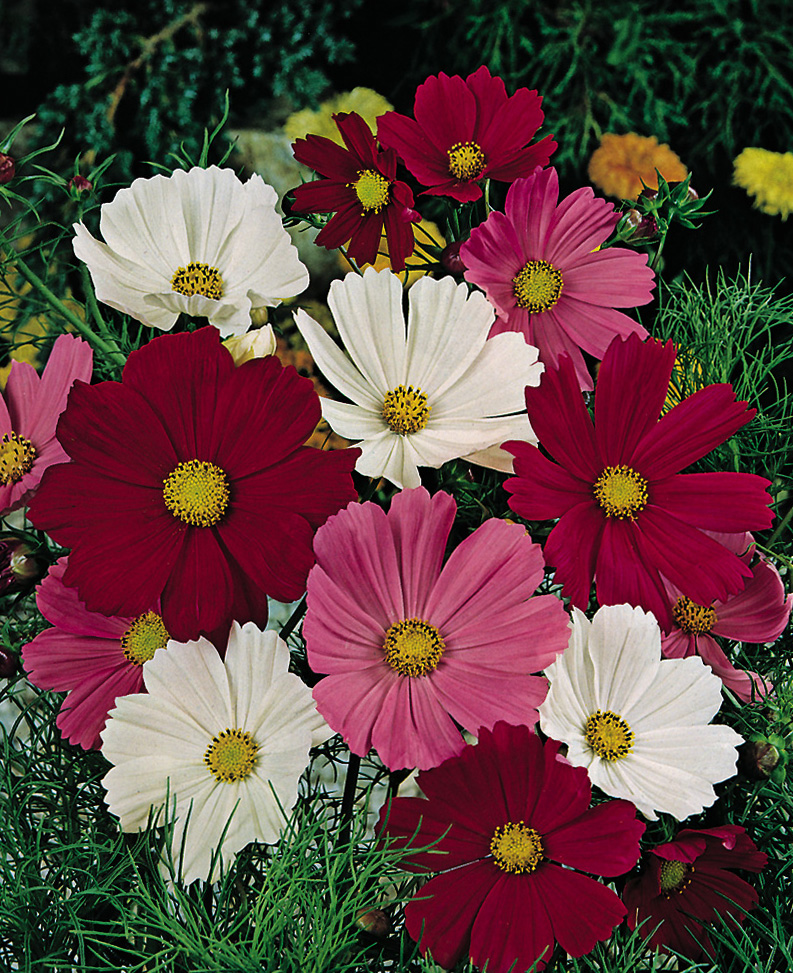 Cosmos   Archives   Aggie Horticulture