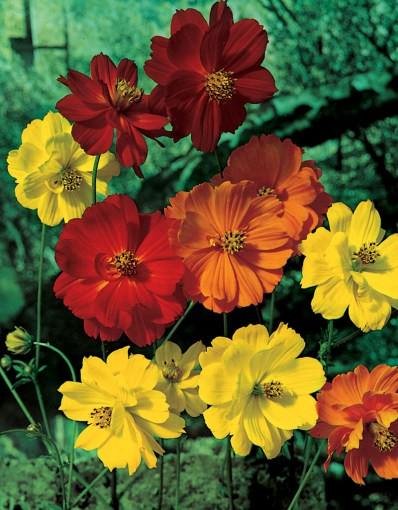 Cosmos   Archives   Aggie Horticulture Yellow Cosmos Klondyke Mix