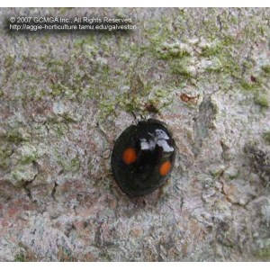 Alluring Black Bug Orange Patterning On Its It Performs An
