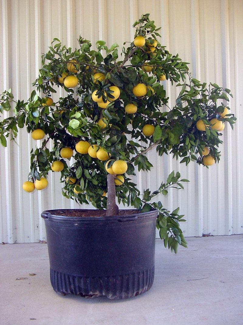 patio citrus for texas