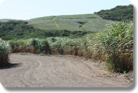 Sugar cane farming with AggreBind