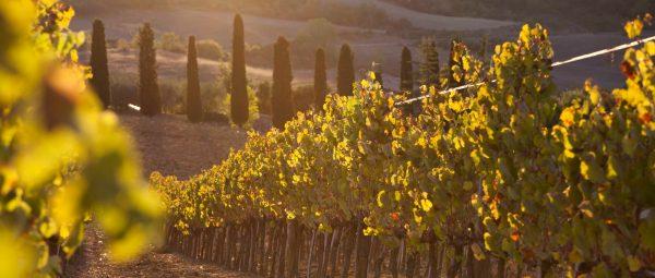 Vineyard among hills