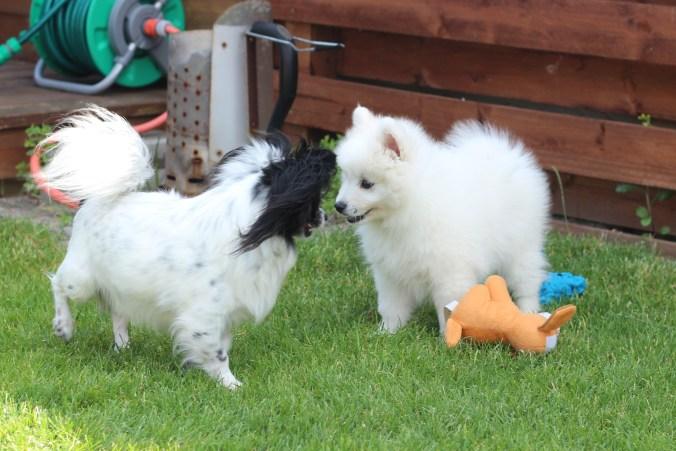 Jeg kender en Chihuahua.. Og den vil gerne lege. Nogle gange. Nogle gange synes den vidst bare jeg er en irriterende teenagehund...