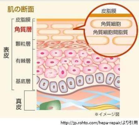 肌断面図 細胞間脂質