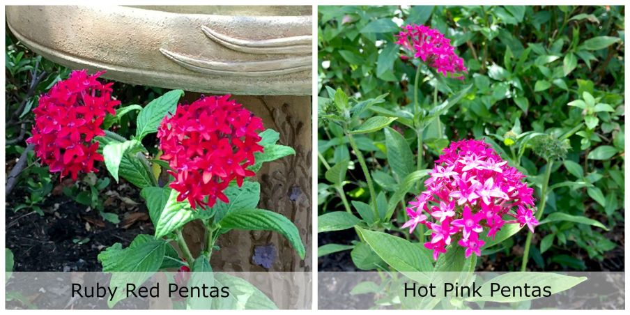 Hummingbird Collage Pentas