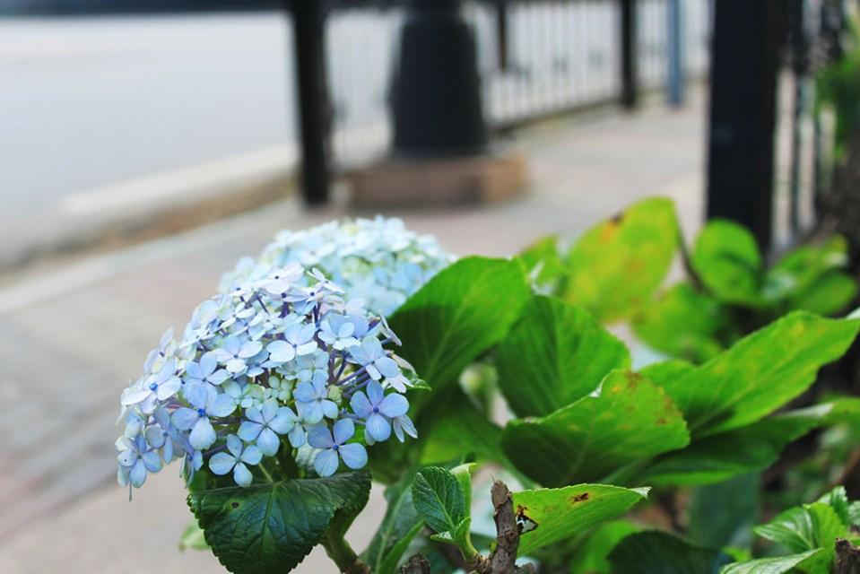 blue flower in nuwara eliya sri lanka english town