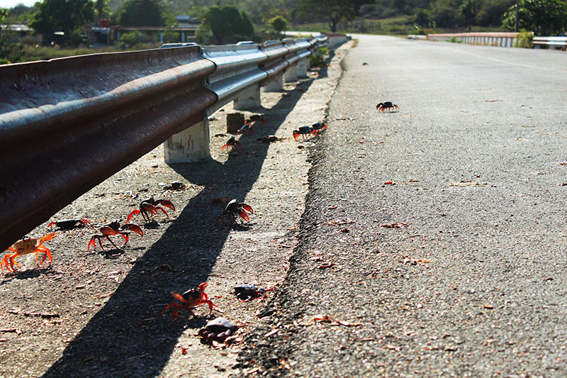 red crab migration roadside trinidad cuba