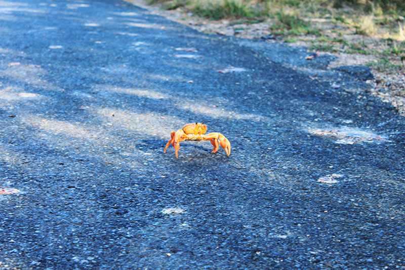 red crab on the road crab migration trinidad cuba