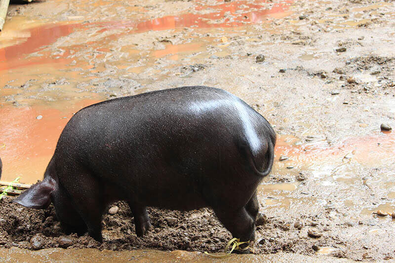 fat cute black pig in mud rain with mark on body rambu solo toraja_agirlnamedclara