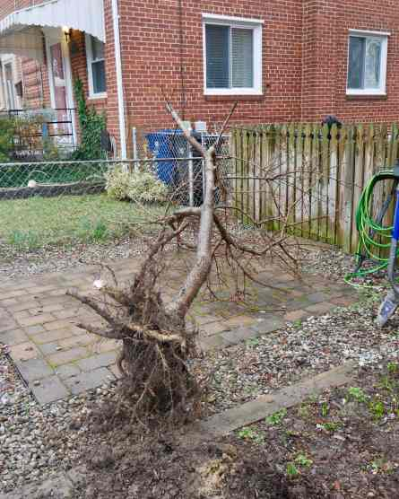 tree laying on its side on the driveway