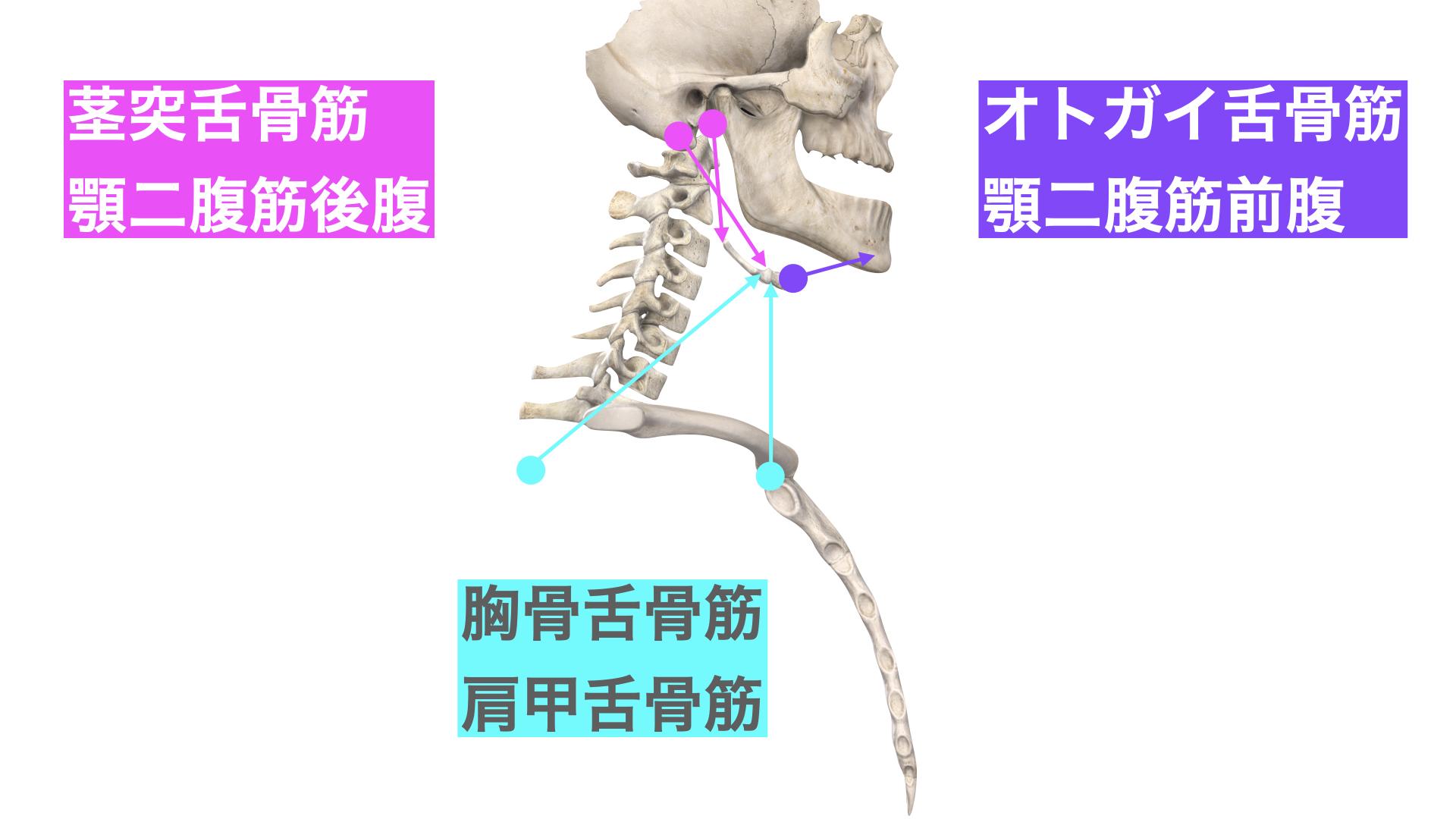 舌骨の付着筋