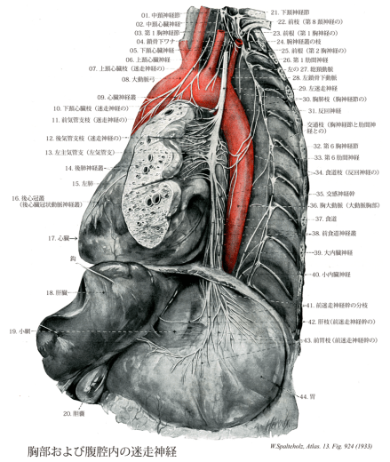 反回神経と大動脈弓