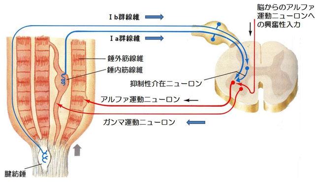 α-γ収縮連関