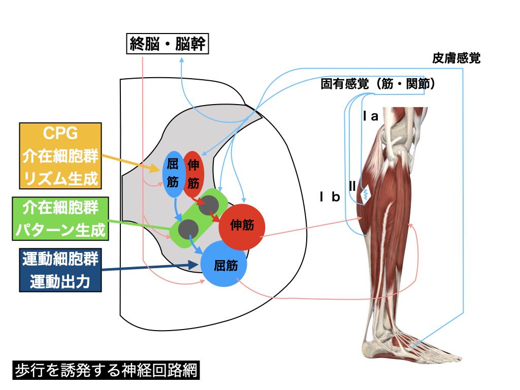 歩行を誘発する神経回路網