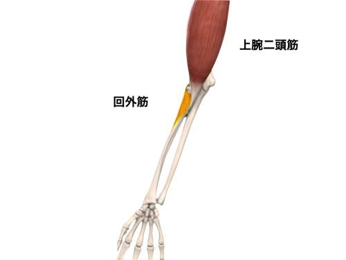肘の回外筋の種類