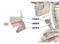 声帯の機能解剖
