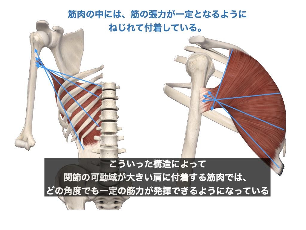 広背筋と大胸筋の螺旋構造