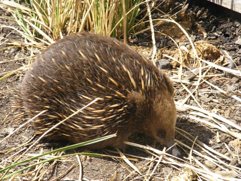 Echidna at Bonorong Wildlife Sanctuary, Tasmania