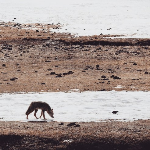 Coyote, Yellowstone National Park