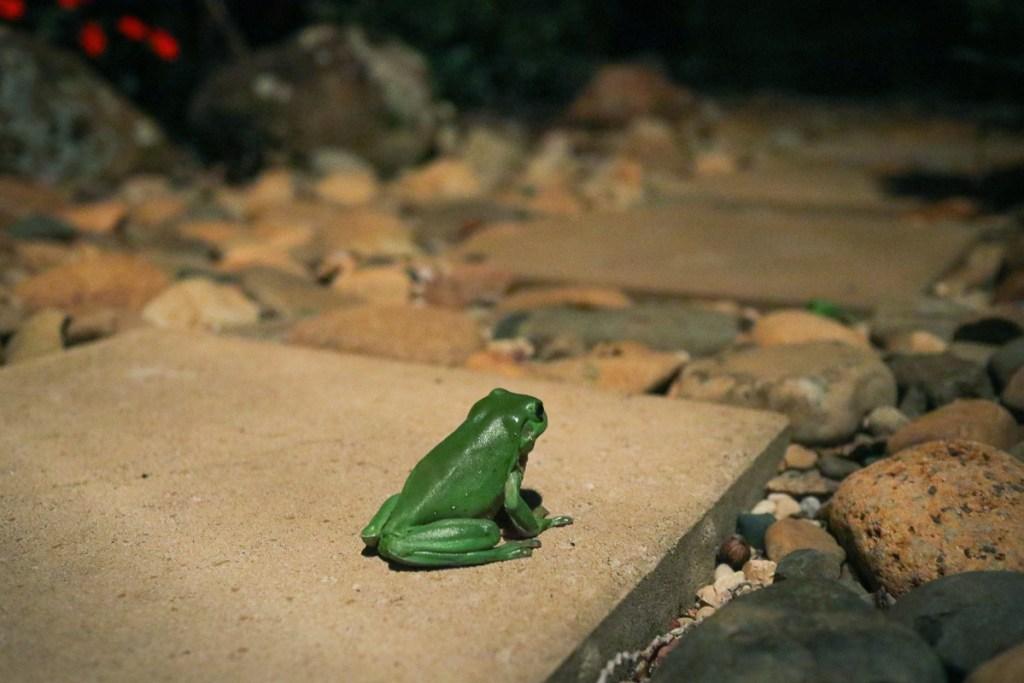 Australian Green Tree Frog in NSW