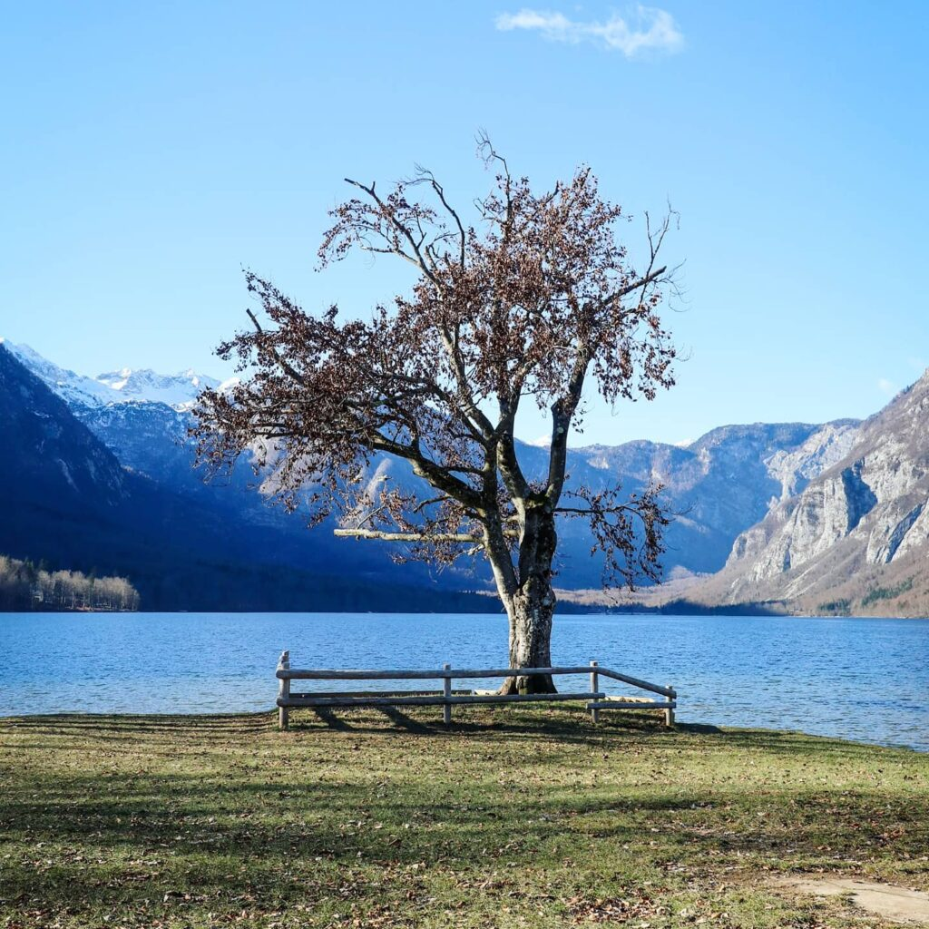 A tree beside Lake Bohinj in Triglav National Park, Slovenia