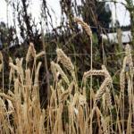 wheat_LR