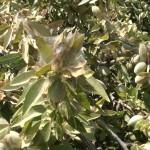almond mites