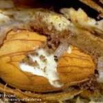 12-11-navel-orangeworm