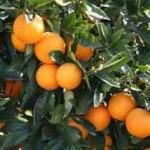 12-17-oranges