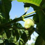 Walnut - Green