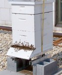 The People's Garden Apiary is home to two beehives and approximately 40,000 Italian honeybees.