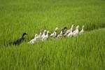 ducks in rice field